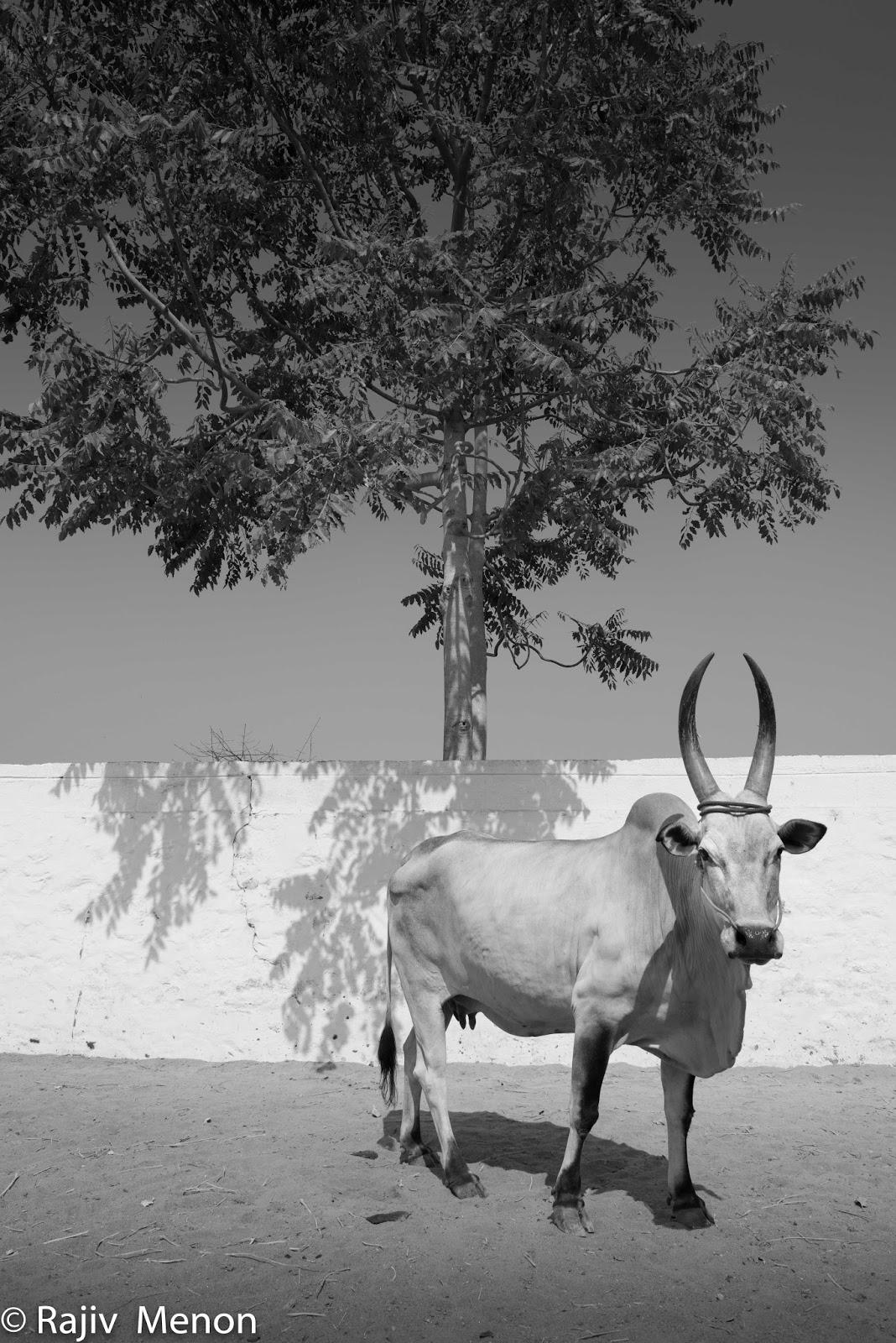 kangeyam cow 1