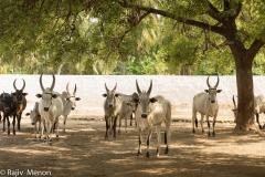 kangeyam farm cows